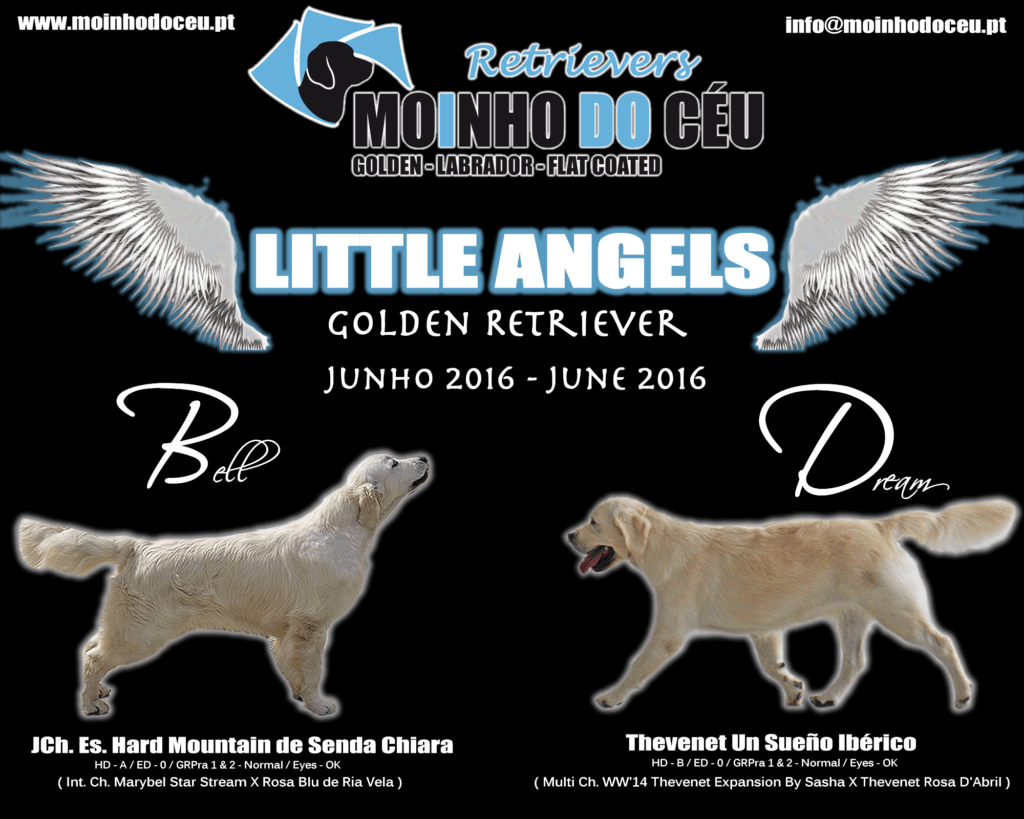 Golden Retriever - Little Angels - June 2016